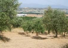 Da Modica a Pozzallo, alberi di carrubi e ulivi avvelenati