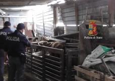 Ragusa – Sequestrata azienda zootecnica abusiva: capi di bestiame allevati tra eternit ed escrementi
