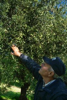 giorgio avola olivicoltore