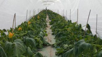 gelo zucchina 3