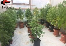 Scicli – Coltivava cannabis a casa. I Carabinieri arrestano un uomo