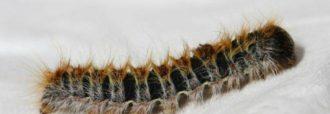 processionaria-del-pino