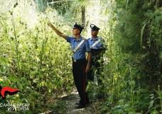 Vittoria – Piantagione di marijuana scoperta dai Carabinieri